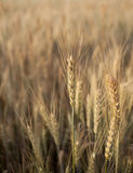 Wheat Field. Wheat details. Sunny field on a Summer day Royalty Free Stock Photography
