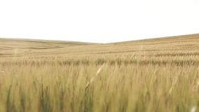 Wheat Field dolly shot stock footage