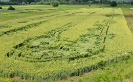 Wheat field. Downed by hailstorm Stock Photography