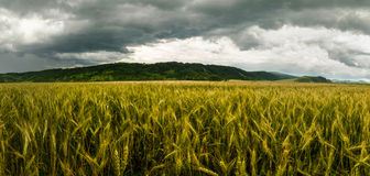 Wheat field with dramatic sky Stock Photo