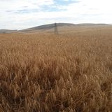 Wheat Field. Durbanville, Western Cape, South Africa Royalty Free Stock Photography
