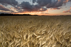 Wheat field at dusk Royalty Free Stock Photography