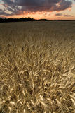 Wheat field at dusk Royalty Free Stock Photos