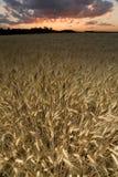 Wheat field at dusk royalty free stock photos