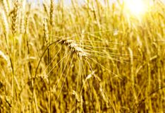 Wheat field. ear. harvest. agro-industry. A field of ripe wheat in the rays of the shining sun, a wheat ear with a close-up royalty free stock photos
