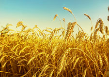 Wheat field early in the morning Royalty Free Stock Images