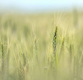 Wheat field in early summer Royalty Free Stock Photography