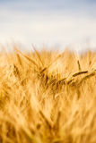 A wheat field in early summer Stock Images