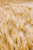 A wheat field in early summer Stock Photography