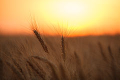 Wheat field. Ears of wheat against the setting sun Royalty Free Stock Photo