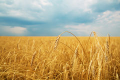 Wheat field. With ears on a background of blue sky clear day Stock Images