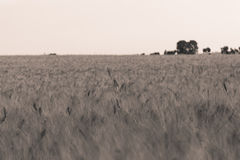 Wheat field 2 Stock Image