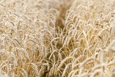 Wheat field. Ears of golden wheat close up. royalty free stock photography