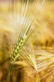 Wheat field. Stock Photography