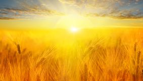 Wheat field. Ears of golden wheat close up. Beautiful Nature Sunset Landscape. Rural Scenery under Shining Sunlight. royalty free stock photos