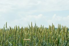 Fields of golden wheat at the end of summer fully ripe stock image