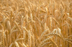 Wheat field. Ears of golden wheat close up. Background of ripening ears of meadow wheat field. Rich harvest Concept. Royalty Free Stock Image