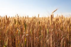 Wheat field. Ears of golden wheat close up. Beautiful Nature Background of wheat field. royalty free stock image