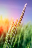 Wheat field. Ears of golden wheat close up. Beautiful Nature Sunset Landscape. Stock Photography