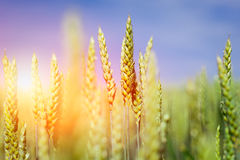 Wheat field. Ears of golden wheat close up. Beautiful Nature Sunset Landscape. Stock Photo