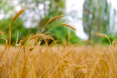 Wheat field. Ears of golden wheat close up. royalty free stock photo