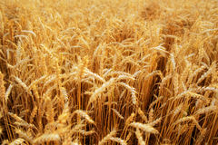 Wheat field. Ears of golden wheat close up. Beautiful Nature Sunset Landscape. Rural Scenery under Shining Sunlight. Background of Royalty Free Stock Image