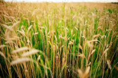 Wheat field. Ears of golden wheat close up. Beautiful Nature Sunset Landscape. Rural Scenery under Shining Sunlight. Background of Stock Photos
