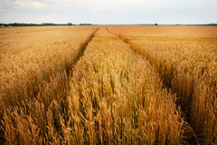 Wheat field. Ears of golden wheat close up. Beautiful Nature Sunset Landscape. Rural Scenery under Shining Sunlight. Background of Royalty Free Stock Photos