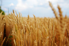 Wheat field. Ears of golden wheat close up. Beautiful Nature Sunset Landscape. Rural Scenery under Shining Sunlight. Background of Stock Images