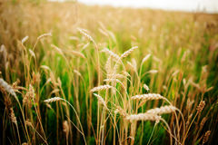 Wheat field. Ears of golden wheat close up. Beautiful Nature Sunset Landscape. Rural Scenery under Shining Sunlight. Background of Stock Photography