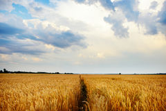 Wheat field. Ears of golden wheat close up. Beautiful Nature Sunset Landscape. Rural Scenery under Shining Sunlight. Background of Royalty Free Stock Images