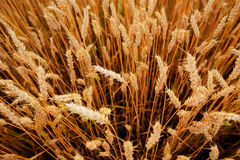 Wheat field. Ears of golden wheat close up. Royalty Free Stock Images