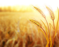 Wheat field. Ears of golden wheat close up. Beautiful Nature Sunset Landscape. Rural Scenery under Shining Sunlight Royalty Free Stock Image