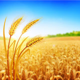 Wheat field. Ears of golden wheat close up. Beautiful Nature Sunset Landscape. Rural Scenery under Shining Sunlight. Background of ripening ears of meadow Stock Images
