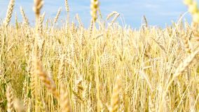 Wheat field. Ears of golden wheat close up. Beautiful Nature Sunset Landscape. Rural Scenery under Shining Sunlight. Background of ripening ears of meadow stock video