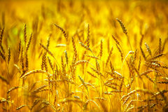 Wheat field. Ears of golden wheat close up. Rich harvest concept Royalty Free Stock Photos