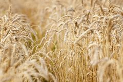 Wheat field. Ears of golden wheat close up. stock images
