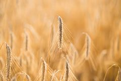 Wheat field. Ears of golden wheat close up.  stock photos