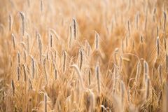 Wheat field. Ears of golden wheat close up.  royalty free stock image
