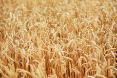 Wheat field. Ears of golden wheat close up. Beautiful Nature Sunset Landscape. Rural Scenery under Shining Sunlight. Background of ripening ears of meadow Stock Photography