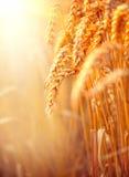 Wheat field. Ears of golden wheat closeup royalty free stock photo