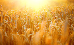 Wheat field. Ears of golden wheat closeup royalty free stock photography