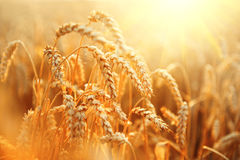 Wheat field. Ears of golden wheat closeup Stock Photography