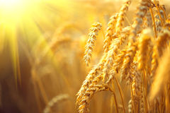 Wheat field. Ears of golden wheat stock photos
