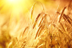 Wheat field. Ears of golden wheat closeup. Rural scenery under shining sunlight Stock Images