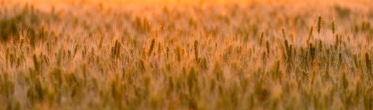 Wheat field. Ears of green wheat. Beautiful Nature Sunset Landscape. Rural Scenery under golden shining Sunlight. Background of ri royalty free stock image