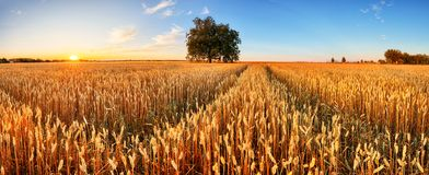 Free Wheat Field. Ears Of Golden Wheat Close Up. Beautiful Rural Scenery Under Shining Sunlight And Blue Sky. Background Of Ripening Stock Photos - 153857613