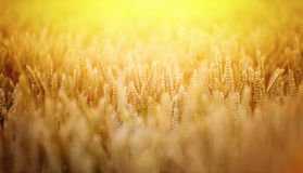 Wheat field. Ears of ripe wheat on a background a sun in the evening Royalty Free Stock Photo