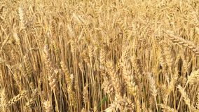 Wheat field. Ears of ripening wheat, rye or other cereal plant, swinging in the wind on the field. Concept of Rich. Harvest or agricultural production stock video