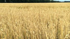 Wheat field. Ears of ripening wheat, rye or other cereal plant, swinging in the wind on the field. Concept of Rich. Harvest or agricultural production stock video footage